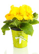 Beautiful yellow primula in flowerpot, isolated on white