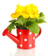 Beautiful yellow primula in watering can, isolated on white