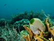 Grüne Riff Seescheide  (Didemnum molle/Atriolum robustum)