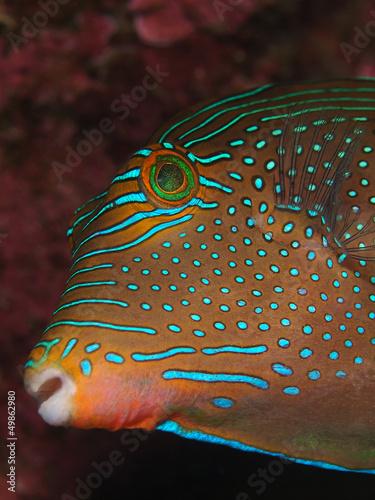 Augenfleck Spitzkopf Kugelfisch (Canthigaster solandri)