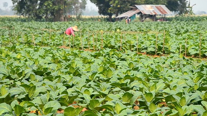 tobacco plant and farmer working in country farm