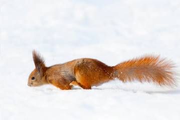 Red squirrel on the snow