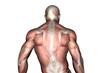Rücken Muskulatur