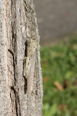 Camouflaged locust rests on a tree trunk.
