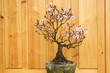 plum blossom bonsai potted