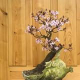 Japanese plum blossom bonsai (Prunus cerasifera)