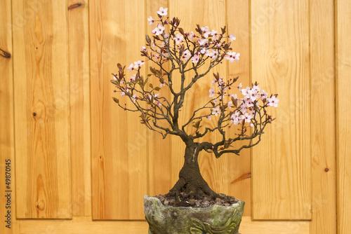 plum blossom bonsai potted
