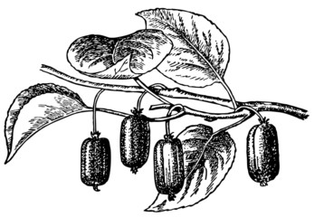 Branch of plant Actinidia