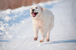 happy dog running in the snow