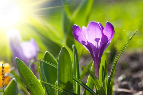 Foto op Canvas Krokussen Spring crocus