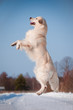 golden retriever dog jumping in the air