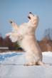 golden retriever dog doing tricks