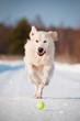 golden retriever dog chasing the ball