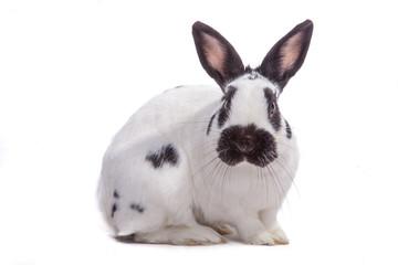 SW Kaninchen freigestellt