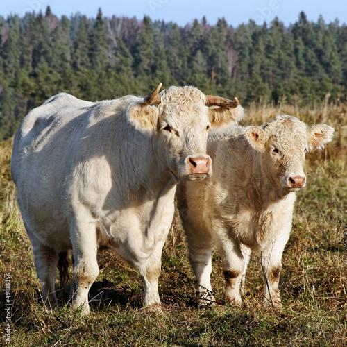 Cow and calf.