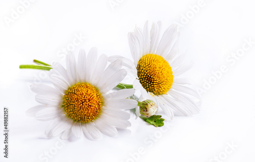 art daisies spring white flower isolated on white background