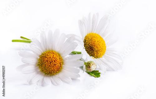 Fotobehang Madeliefjes art daisies spring white flower isolated on white background