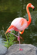 American Red Flamingo.  Graceful bird.