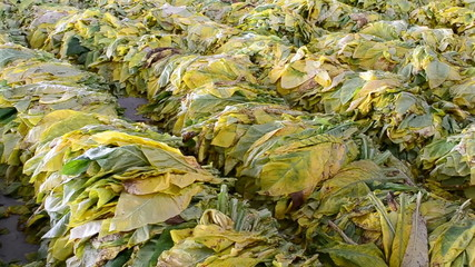 tobacco leaf form farm wait for bake in factory