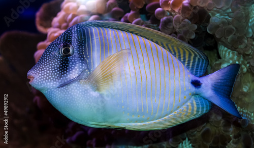 Surgeon-fish - Sail-fin Tang