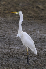 Great Egret (Ardea alba