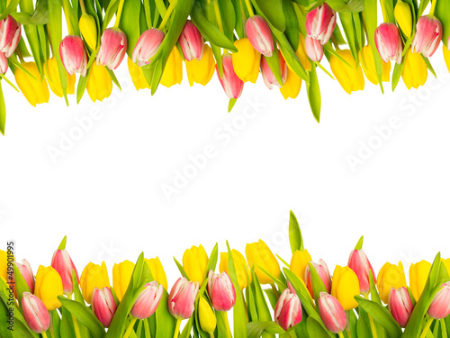 kopia tulipan