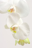 Fototapete Knospe - Close-up - Blume