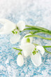 Bouquet of snowdrop flowers, on snow background