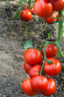 growth red tomato
