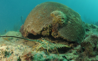 Caribbean spiny lobster and brain coral