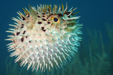 Blowfish or diodon holocanthus underwater in ocean