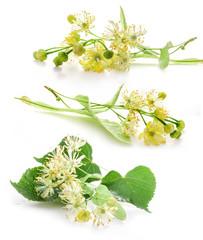 Collections of linden flowers isolated on white background
