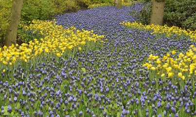 blossoming blue path, keukenhof
