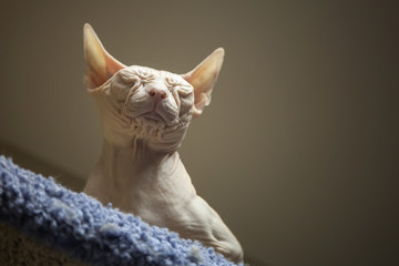 White Don Sphinx cat sleeps