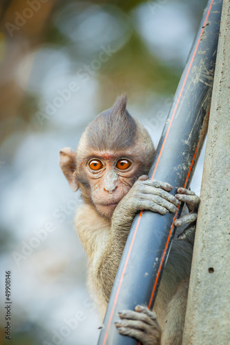 The lovely Monkey (Long-Tailed Macaque) with sweet eyes