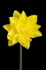 Single yellow double daffodil on black background