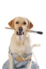 Labrador imbianchino- primo piano