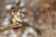 Buzzard on a rotten branch