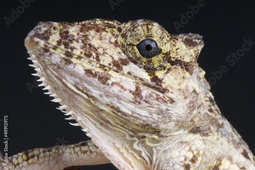 Foto op Plexiglas Kameleon False Chameleon Anole / Anolis porcus