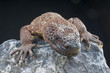 Venomous Beaded lizard / Heloderma horridum