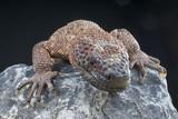 Venomous Beaded lizard / Heloderma horridum poster
