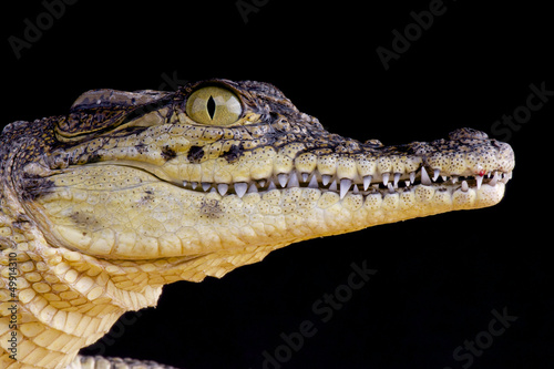 Nile crocodile / Crocodilus niloticus