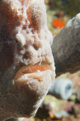 Frog Fish portrait in Cebu, Philippines