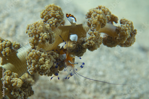Shrimp on soft coral in Cebu, Phillipines