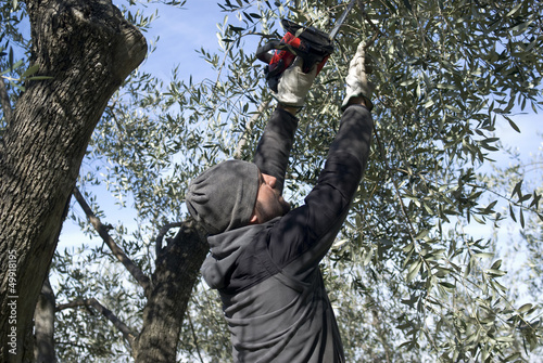 Man pruning of olive tree