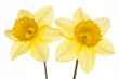 Srping background vith two daffodils.
