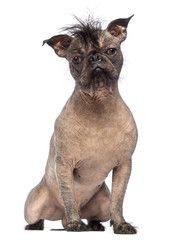 Hairless Mixed-breed dog
