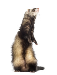 Ferret, 9 months old, standing on hind legs and looking up
