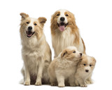 Border collie family, father, mother and puppies, sitting