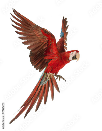 Green-winged Macaw, Ara chloropterus, 1 year old, flying - 49921728